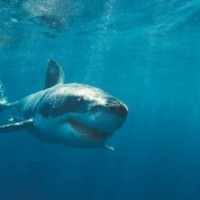 Google : requin serait menace c�bles -marins